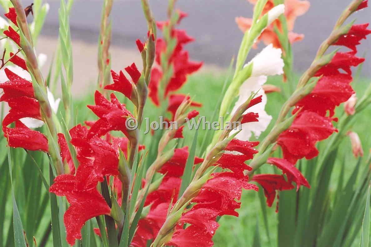 John Quincy Whelan Flower